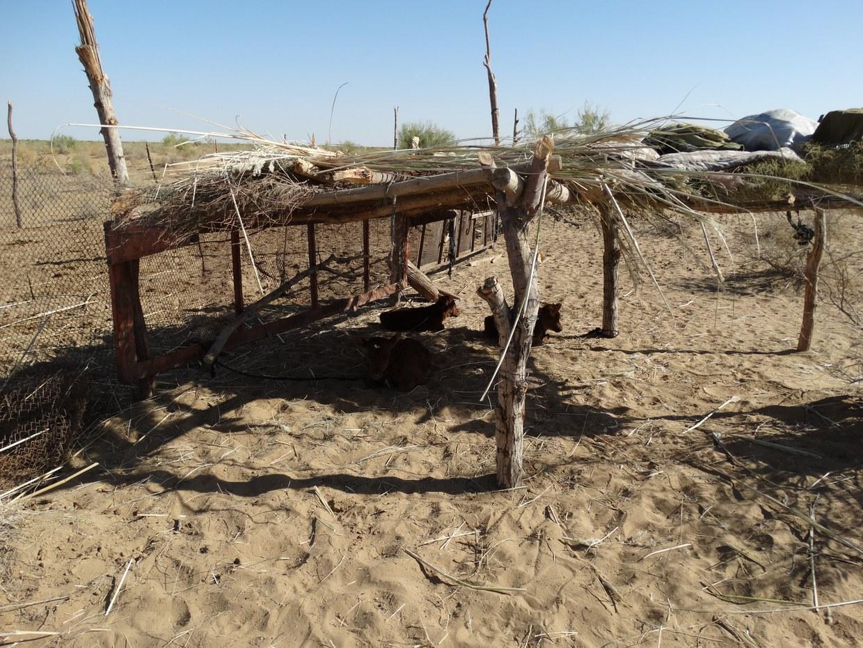 Struttura di accampamento ricostruita sulla base dei rinvenimenti e dei confronti con i moderni accampamenti temporanei impiegati dai pastori turkmeni ai confini con il deserto della regione del Murghab